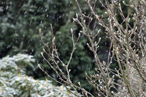 Magnolie im Winter (Regen)